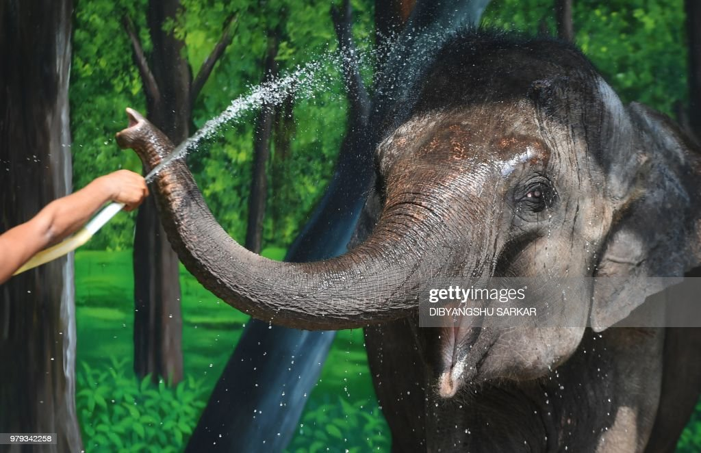 A zookeeper sprinkles water on an Asian elephant during a