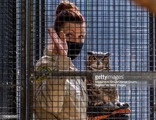 Zookeeper Susan Miles prepares to release a Great Horned Owl named Winston back into his habitat at the OC Zoo at the Irvine Regional Park in Orange...