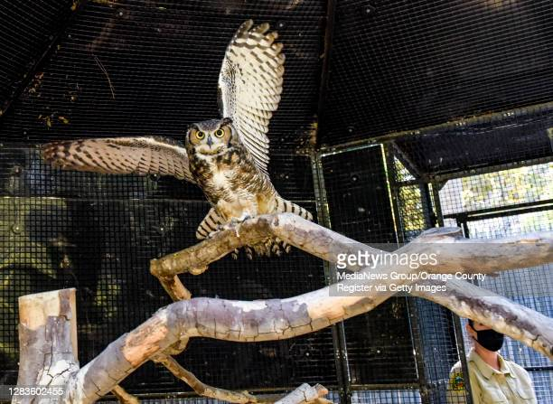Zookeeper Susan Miles, right, releases a Great Horned Owl named Winston back into his habitat at the OC Zoo at the Irvine Regional Park in Orange on...