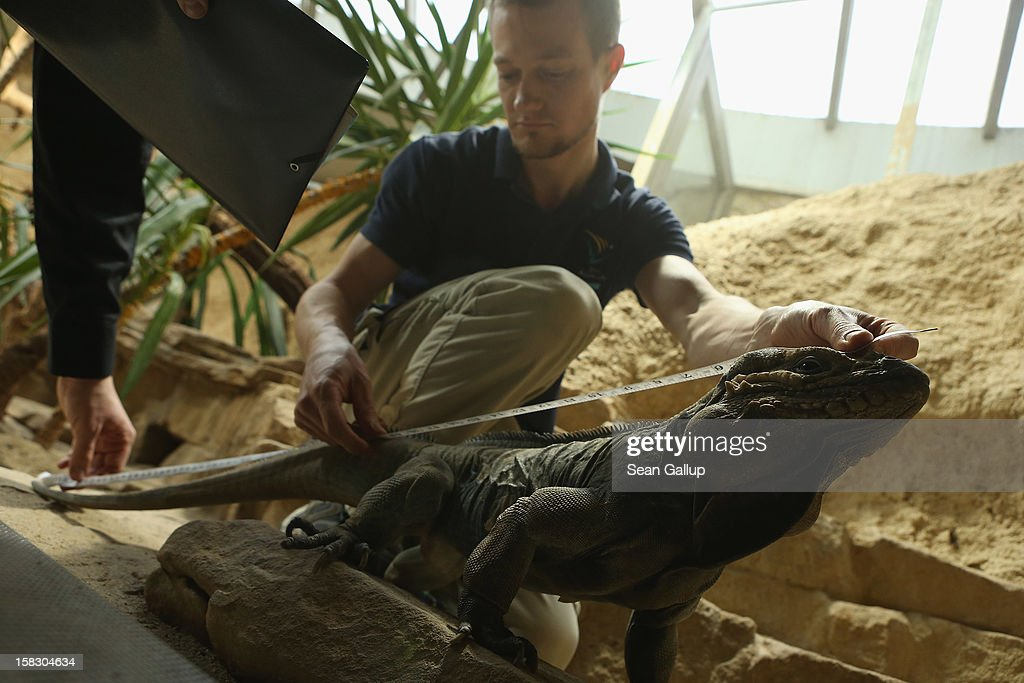 Zookeeper Thomas Warkentin measures a live rhinoceros iguana during the annual animal inventory at Zoo Berlin zoo on December 12, 2012 in Berlin, Germany. The zoo conducts the once-a-year inventory over a period of several months, depending on the species, to assess such factors as the state of animal colonies, the presence of foreign species and the true number of species and their members.