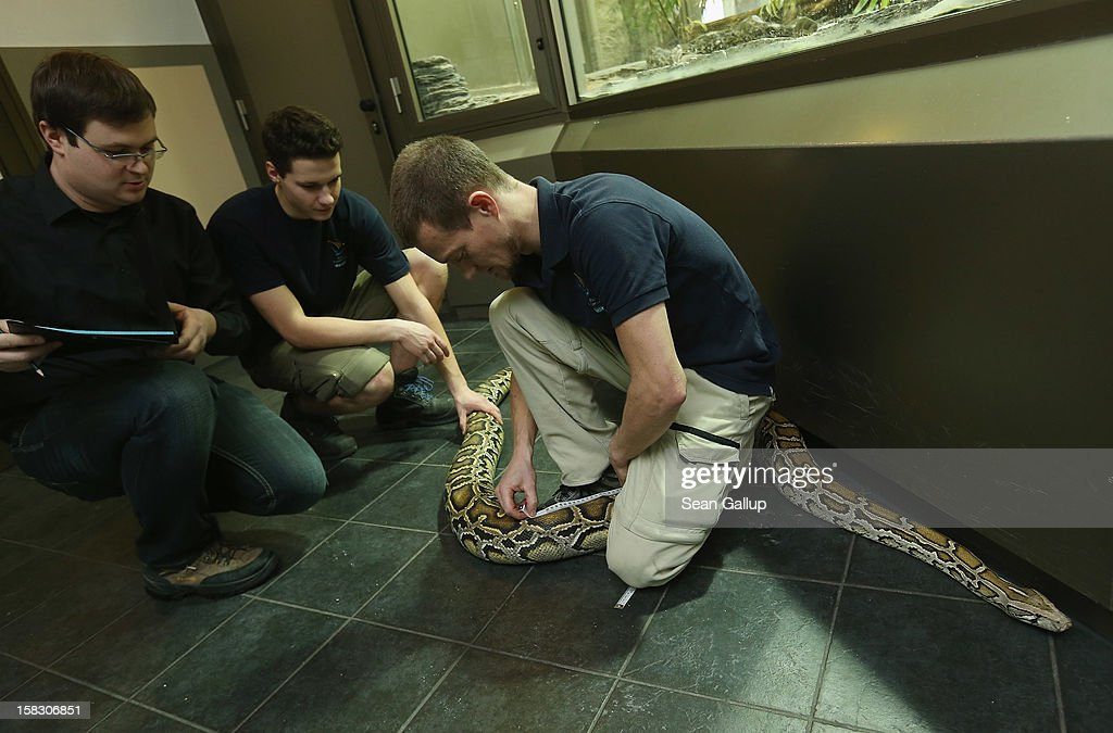 Zookeeper Thomas Warkentin (C) measures Saskia, a Burmese python who is 3.2 meters long, during the annual animal inventory at Zoo Berlin zoo on December 12, 2012 in Berlin, Germany. The zoo conducts the once-a-year inventory over a period of several months, depending on the species, to assess such factors as the state of animal colonies, the presence of foreign species and the true number of species and their members.