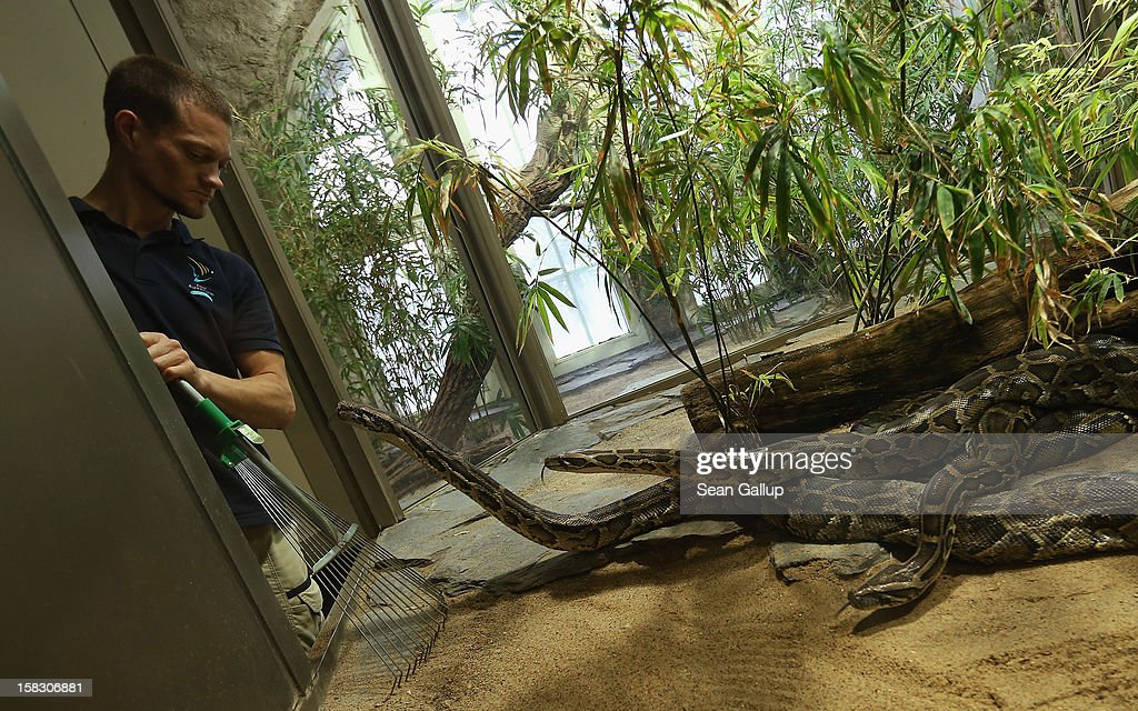 Zookeeper Thomas Warkentin rakes over sand as Burmese pythons look on after he measured one of the snakes during the annual animal inventory at Zoo Berlin zoo on December 12, 2012 in Berlin, Germany. The zoo conducts the once-a-year inventory over a period of several months, depending on the species, to assess such factors as the state of animal colonies, the presence of foreign species and the true number of species and their members.