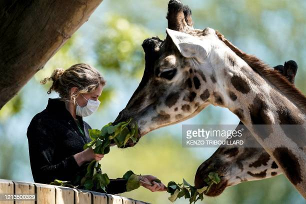 Zookeeper wearing a protective face mask feeds giraffes in its enclosure on the reopening day of Pairi Daiza animal park in Brugelette on May 18,...