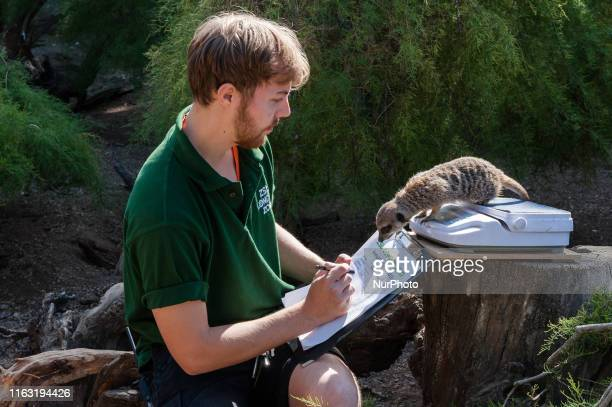 A zookeeper weighs a meerkat during the annual weighin at ZSL London Zoo on 22 August 2019 in London England Every year keepers at the London Zoo...