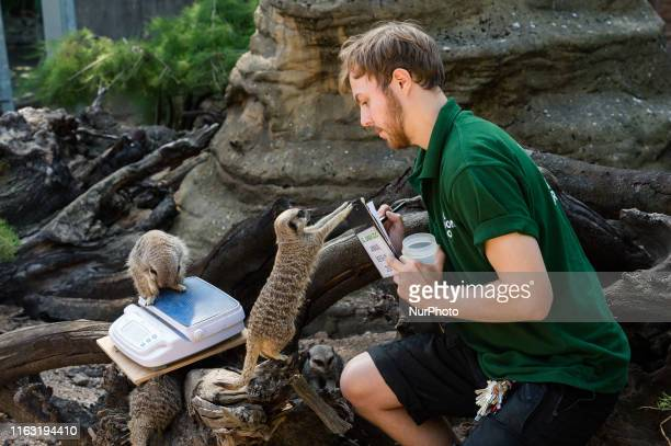 A zookeeper weighs meerkats during the annual weighin at ZSL London Zoo on 22 August 2019 in London England Every year keepers at the London Zoo...