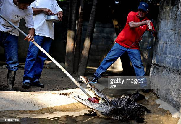 Zookeepers feed by the force a 35yearold crocodile at the National Zoo about 20 km south of Managua on April 072011The Nicaraguan National Zoo on...