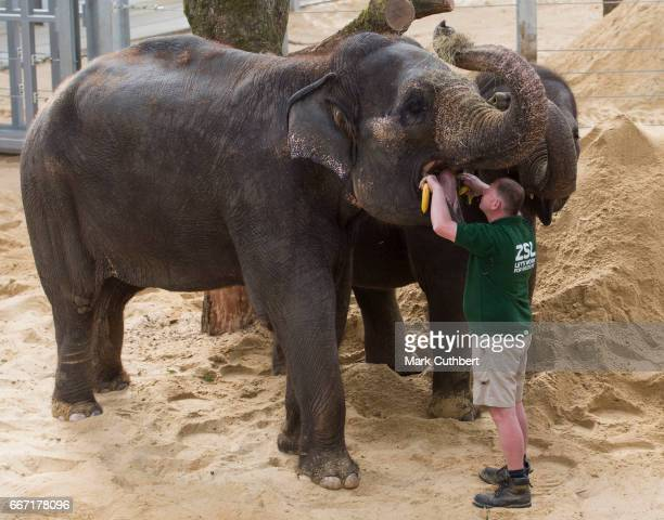 Zookeepers feed elephants during the Queen and Duke of Edinburgh's visit to ZSL Whipsnade Zoo at the Elephant Centre on April 11 2017 in Dunstable...