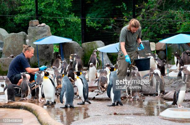 Zookeepers feed the penguins in their enclosure at Edinburgh Zoo which re-opened in Edinburgh on June 29, 2020 as shops other non-essential...