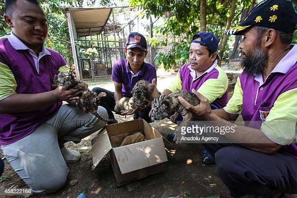 Zookeepers hold newly born cubs of Bengal tiger at the Mangkang zoo in Semarang Central Java Indonesia on November 01 2014 The Mangkang zoo in...