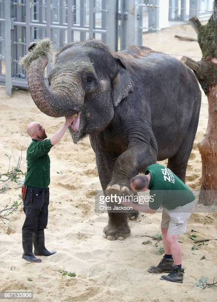 Zookeepers inspect the teeth and feet of an Asian elephant ahead of the Queen and Duke of Edinburgh's visit to ZSL Whipsnade Zoo at the Elephant...