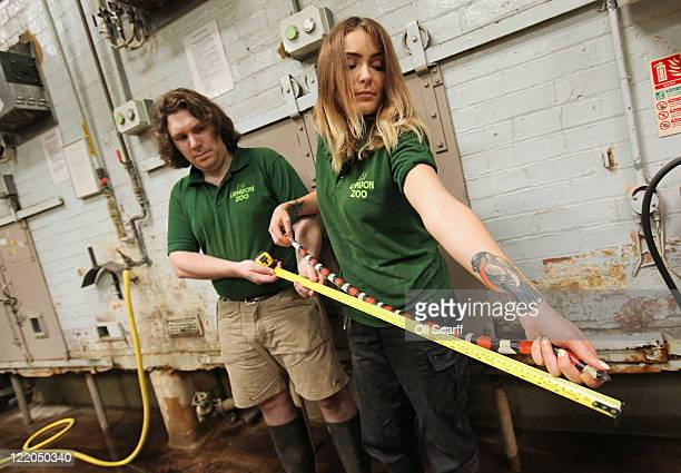 Zookeepers measure the length of a pueblan milk snake in the Reptile House of ZSL London Zoo as part of their annual weighing and measuring of their...