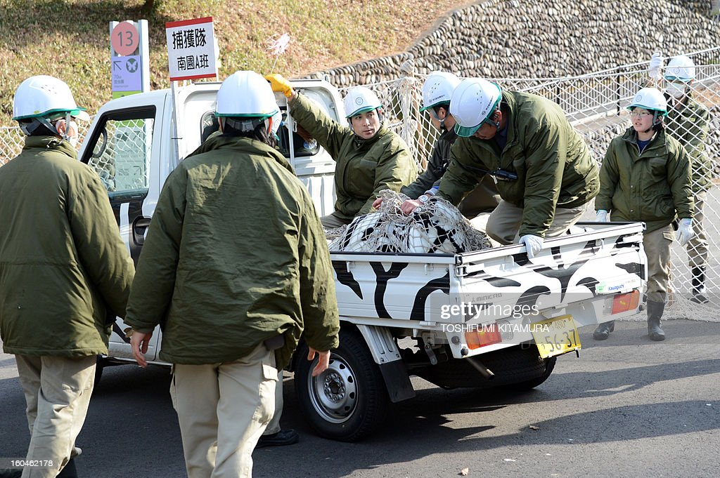 Zookeepers transport a zebra-dressed man after being 'tranquilizer' during a drill to practice what to do in the event of an animal escape at the Tama zoo in western suburb of Tokyo on February 1, 2013. About 60 zookeepers participated in the annual drill.
