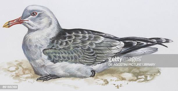 Zoology Birds Audouin's Gull illustration