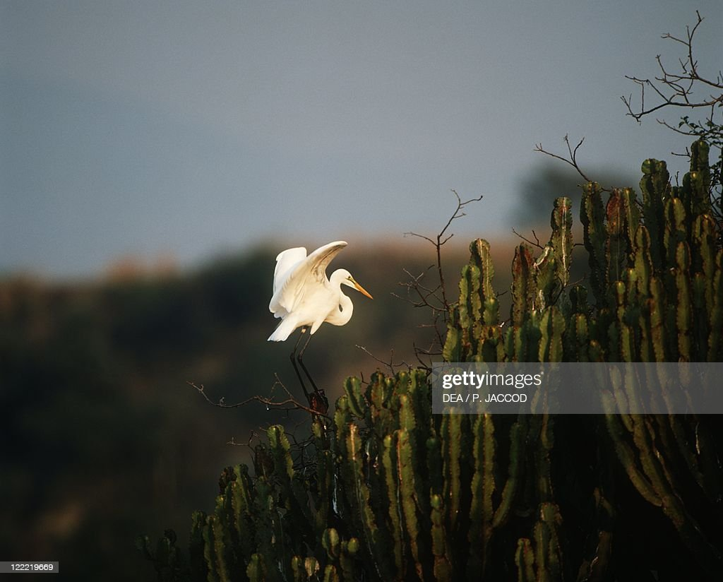 Zoology - Birds - Ciconiiformes - Great egret (Casmerodius albus or Ardea alba). Democratic Republic of Congo, Virunga National Park.