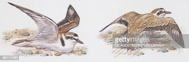 Zoology: Birds, Kentish Plover, , illustration