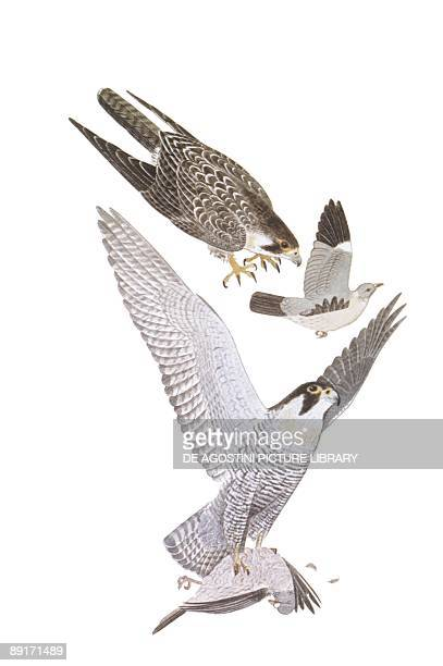 Zoology Birds Peregrine Falcon illustration