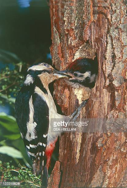 Zoology Birds Piciformes Great spotted woodpecker feeding its young in nest