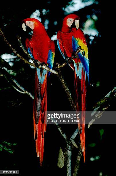 Zoology Birds Psittaciformes Scarlet macaw