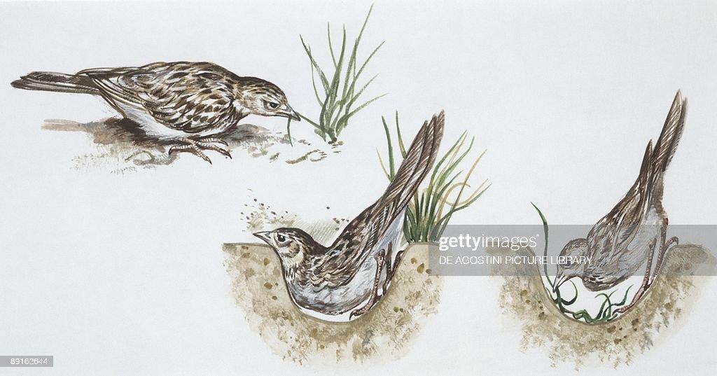 Zoology: Birds, Skylark (Alauda arvensis) building nest, illustration : News Photo