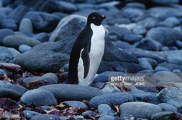 Zoology - Birds - Sphenisciformes - Adelie penguin . Antarctica, King George Island.