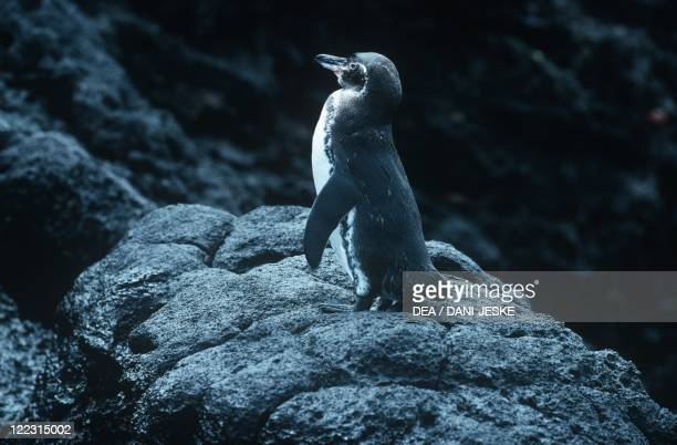 Zoology - Birds - Sphenisciformes - Galapagos Penguin .