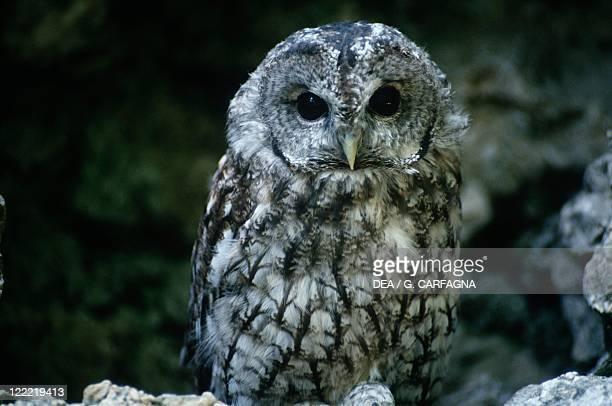 Zoology - Birds - Strigiformes - Tawny owl . Italy, Abruzzo National Park.