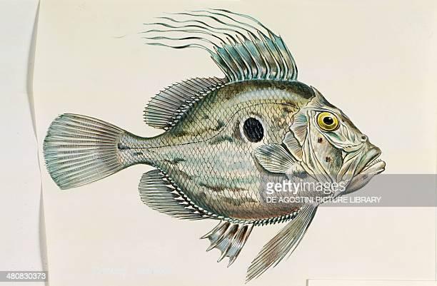 Zoology Fishes Bony Fishes Zeiformes John Dory illustration