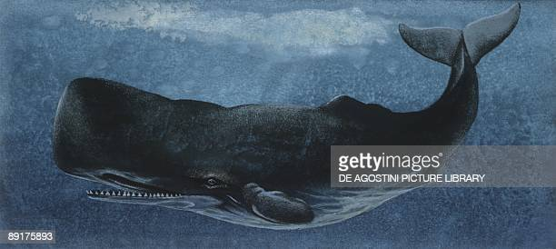 Zoology Fishes Mammalia Cetacea Sperm whale illustration