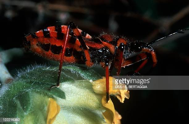 Zoology Insects Hemipters Assassin bug