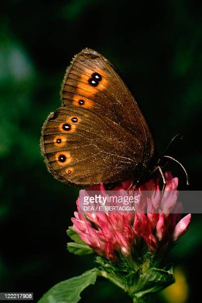 Zoology Insects Lepidopters Butterfly Woodland Ringlet