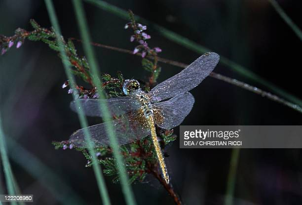 Zoology Insects Odonates Dragonfly Emperor dragonfly