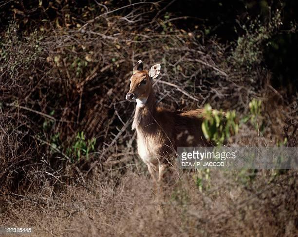 Zoology Mammals Artiodactyls Bovids Nilgai or nilgai antelope India Ranthambore National Park