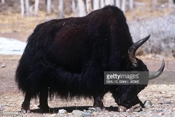 Zoology Mammals Artiodactyls Bovids Wild Yak Jammu and Kashmir State Ladakh District