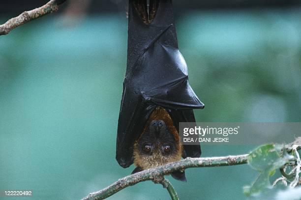 Zoology Mammals Chiroptera Bats Madagascan Flying Fox Madagascar