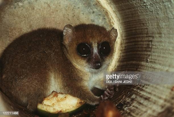 Zoology Mammals Primates Gray Mouse Lemur Madagascar