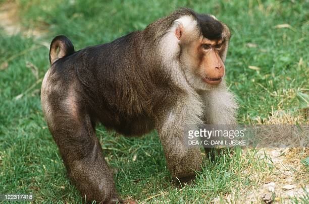 Zoology Mammals Primates Pigtailed macaque Sunda Islands