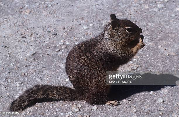 Zoology Mammals Rodents Eastern Gray squirrel or Grey squirrel