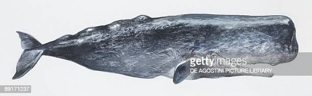 Zoology Mammals Sperm Whale illustration