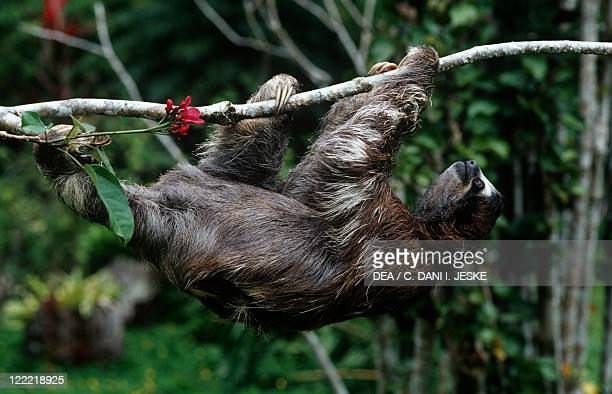 Zoology Mammals Threetoed sloths Brownthroated sloth