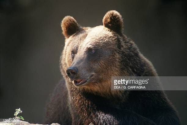 Zoology Mammals Ursidae Marsican brown bear Italy Abruzzo National Park