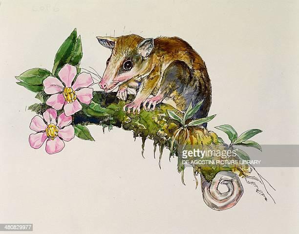 Zoology Marsupials Murine Mouse Opossum illustration