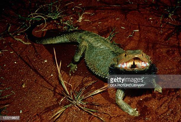 Zoology Reptiles Bearded dragon