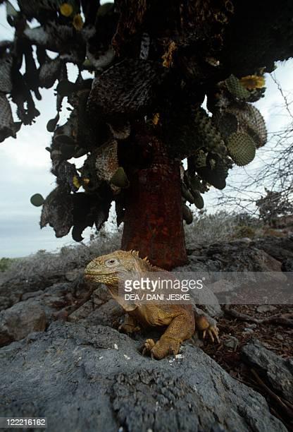 Zoology Reptiles Scaled reptiles Galapagos land iguana