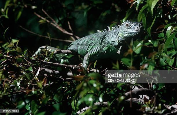 Zoology Reptiles Scaled reptiles Green iguana or common iguana