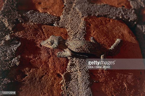 Zoology - Scaled reptiles - Giant leaf-tailed gecko . Madagascar.