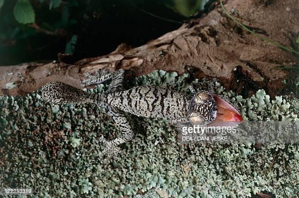 Zoology - Scaled reptiles - Giant leaf-tailed gecko . Madagascar.