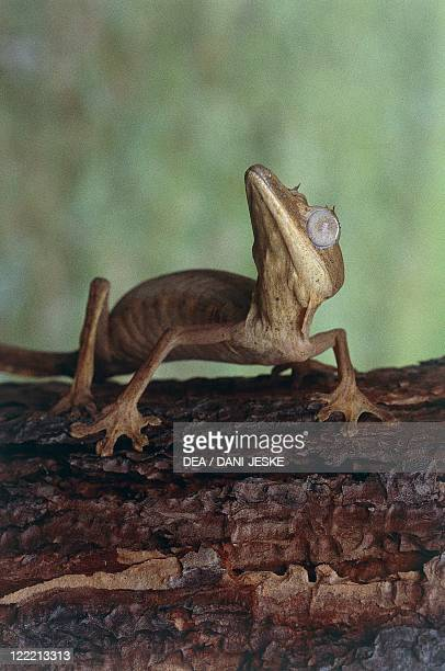 Zoology - Scaled reptiles - Lined leaf-tailed gecko . Madagascar.