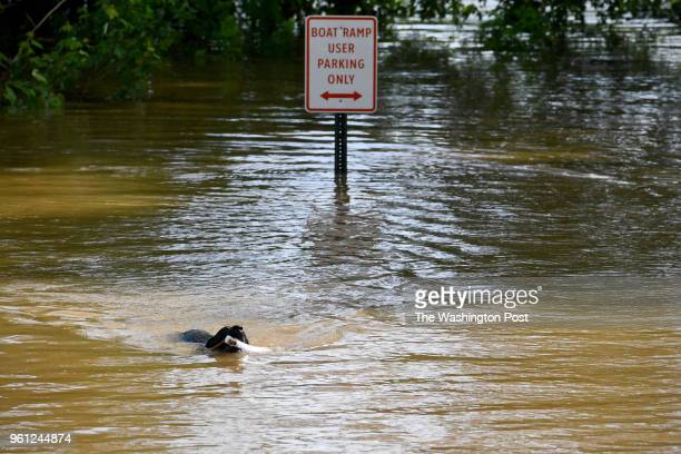 Zoom a labrador retriever plays in the flooded parking lot along the Potomac River May 20 2018 in Point of Rocks MD