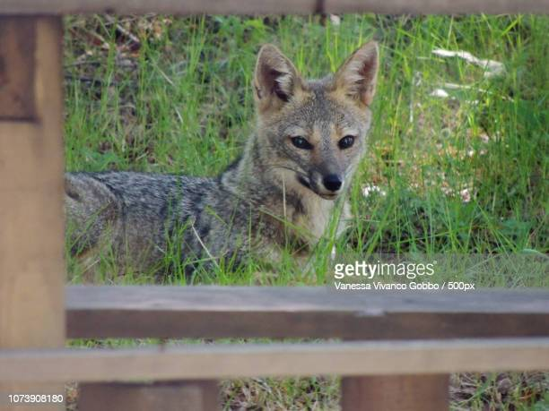 zorro - gray fox stock photos and pictures