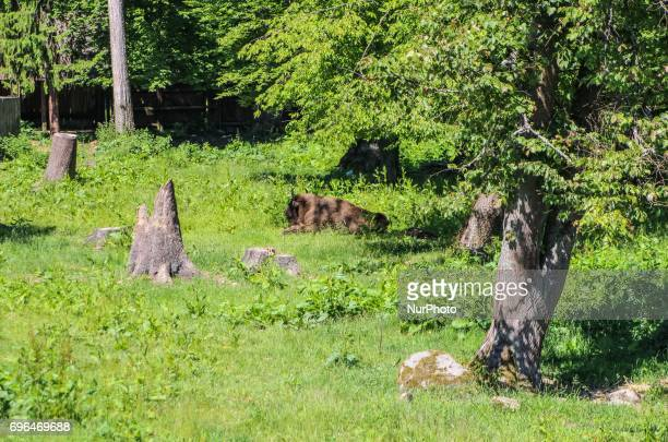 Zubr or wisent the European Bison is seen in Bialowieza Poland on 15 June 2017 People enjoy sunny day and visit European bison Show Reserve in...